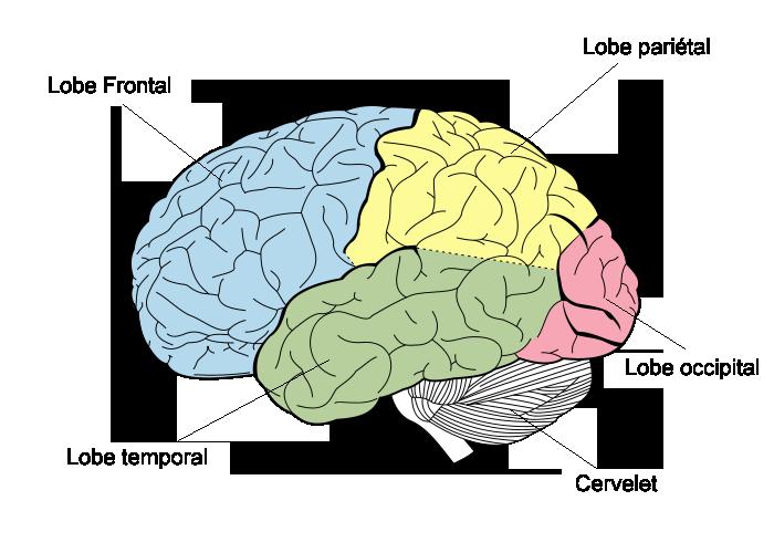 Vice-Versa : la vie mouvementée d'un cerveau humain